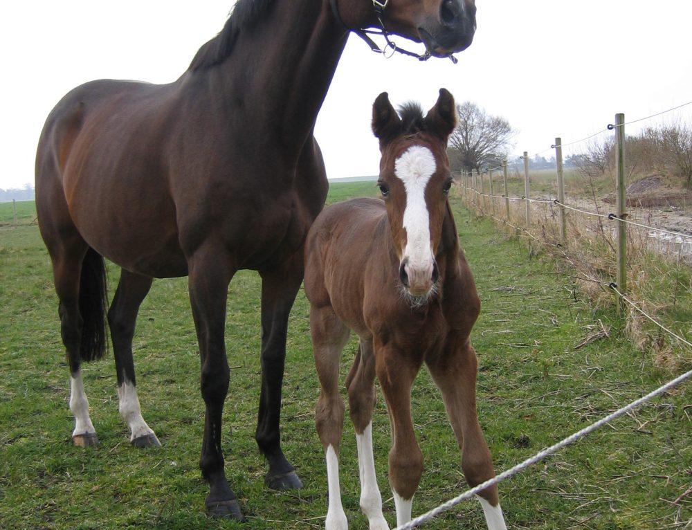 Allt fler hästar föds